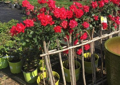 Roses Behind the Garden Gate