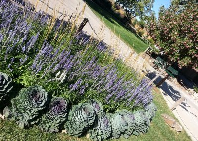 Flowering Kale with Victorian Salvia
